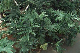 TOXIC PLANTS AROUND THE HOUSE
